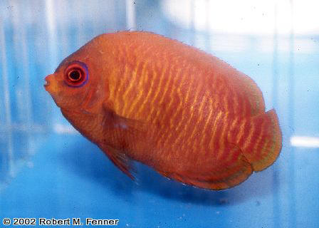 Centropyge aurantia, golden angel, dwarf angelfish, pygmy angels