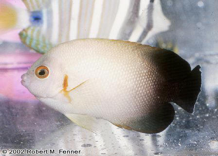 Centropyge vroliki, Half Black Pygmy angel, dwarf angelfish, pygmy angels