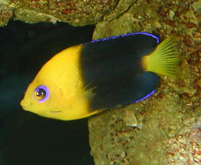 ... joculator, Cocos Pygmy angel, dwarf angelfish, pygmy angels
